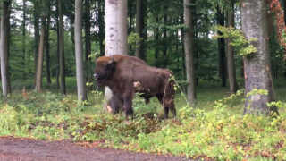 Bisontyr på Lolland
