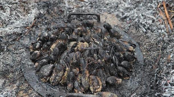Billede af brændte muslinger med lyng og gran