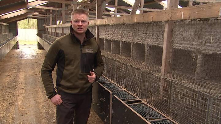 Minister vil give trængte minkavlere forskud på erstatning