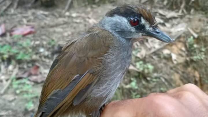 Hvor blev den af? Uddød fugl dukker op efter 173 år