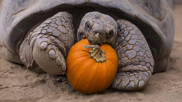Farvel til kæmpeskildpadder og sneleoparder? Sjældne dyr trues af klimaforandringer