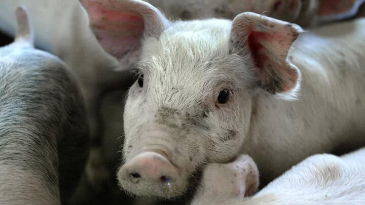 Landmænd giver grise mere antibiotika, men de skulle give mindre