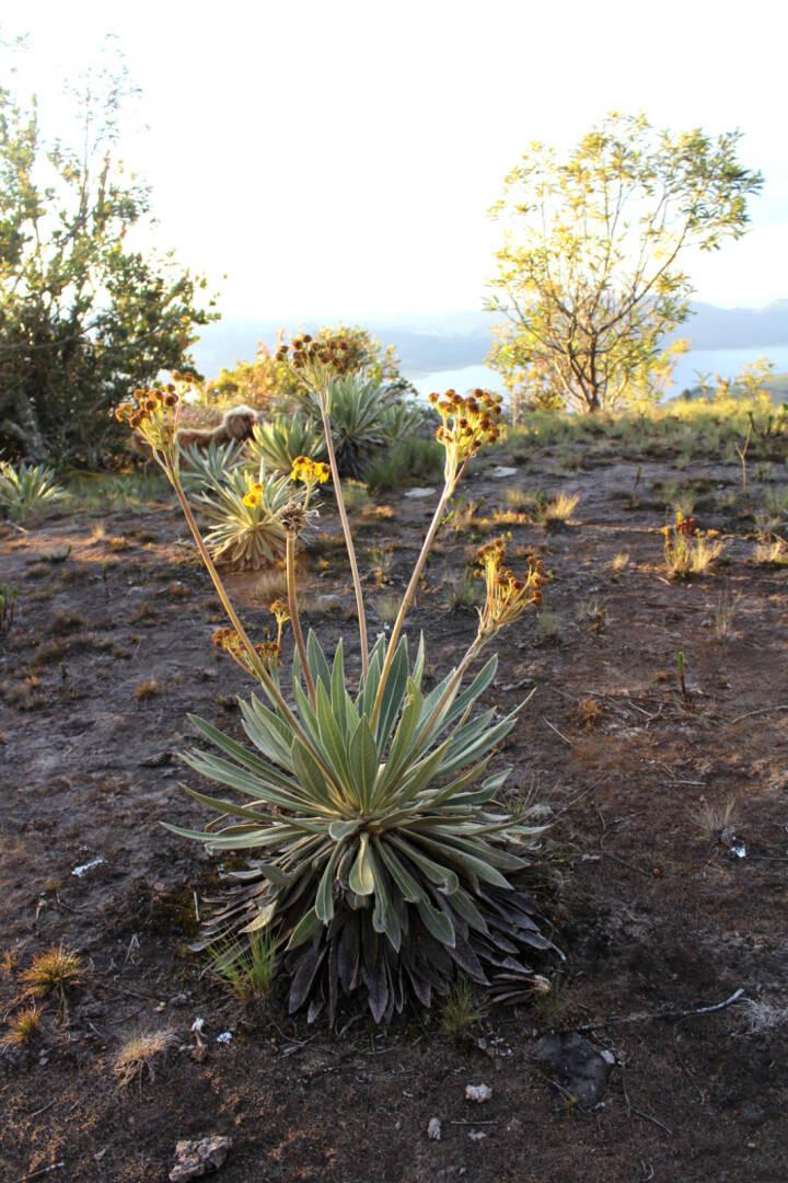 Frailejon - plante i økosystem i Colombia