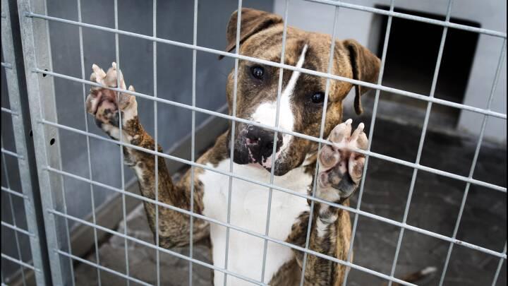 Dyrlægeformand om aflivning af ulovlige hunde: Vi skal ikke være betjente