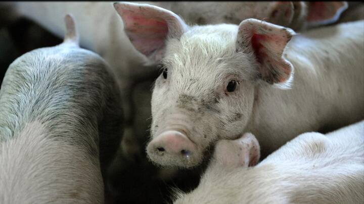 302 millioner kroner skal bekæmpe husdyr-MRSA