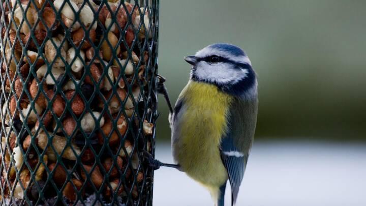 Blåmejse spiser fuglefoder