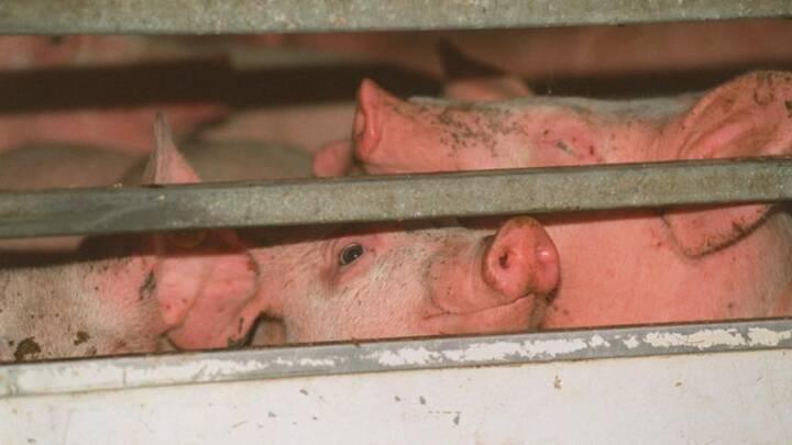 Skærpet tilsyn: Fejl hos hver tiende svinetransporter er 'bedre end frygtet'