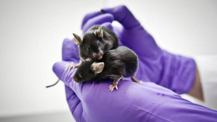 Aber, mus og hamstere: Sådan bruges forsøgsdyr til corona-forskning