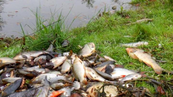 Fiskedød: Algebehandling udføres med ulovlige kemikalier