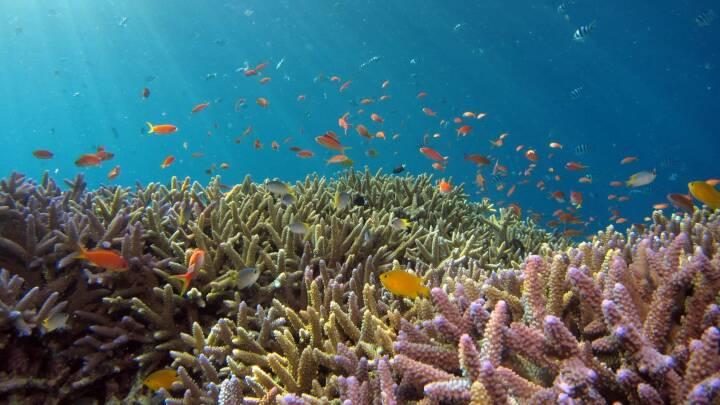 Indonesere genskaber dødt koralrev: Nu vrimler det med fisk igen
