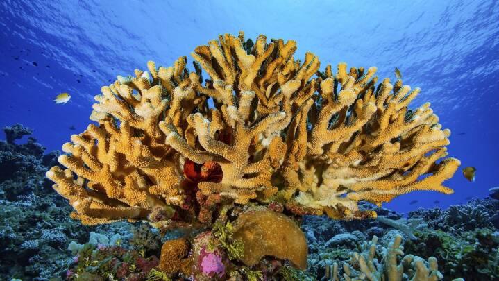 Midt i masseuddøen: Koralrev tilpasser sig stigende havtemperaturer helt af sig selv