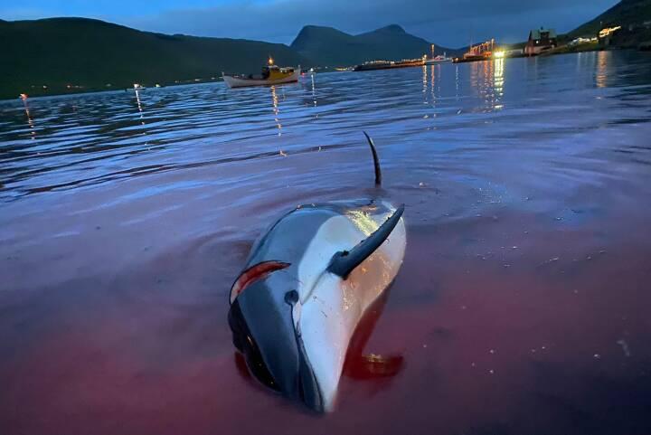 Bioetiker om delfindrab: 'Hvis det havde været 1.400 grise, havde vi været fløjtende ligeglade'