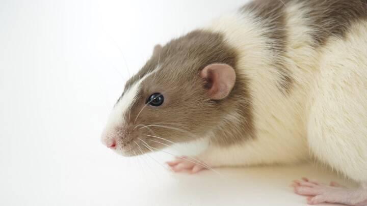 EU-Parlamentet presser på for at afskaffe dyreforsøg i forskning