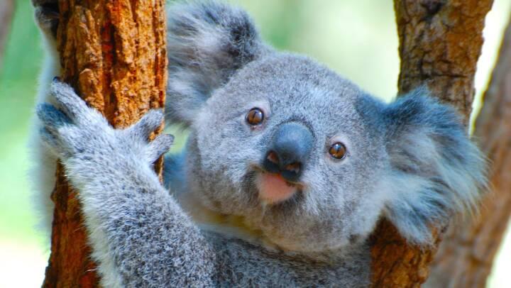 Klamydiavaccine skal hjælpe truede koalaer med at overleve