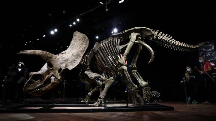 Verdens største kendte skelet af en triceratops skal på auktion i dag