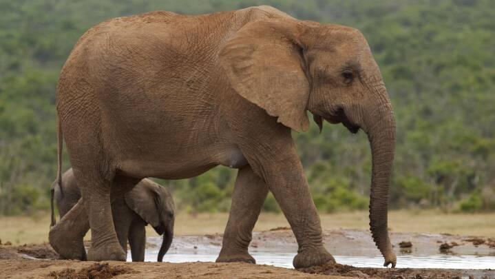 Lynhurtig evolution: Elefanter har smidt stødtænderne for at overleve krybskytteri