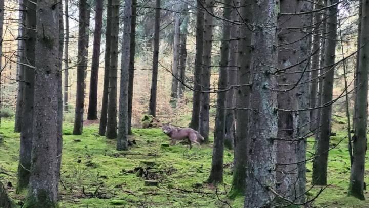 Ulv fulgte Ida og hendes hund over flere kilometer