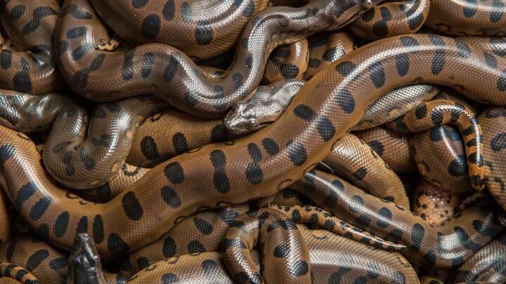 BILLEDSERIE Kæmpe anakonda føder unger i Randers