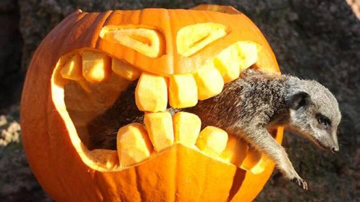 FORTÆL: Hvordan fejrer I Halloween?