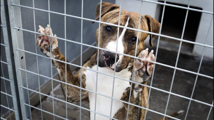 Forsker: Snart kan hundeejere bruge dna-beviser i hundelovssager