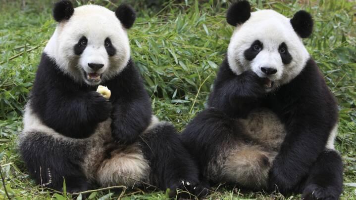 Politik og pandaer: 6 historier om panda-diplomati