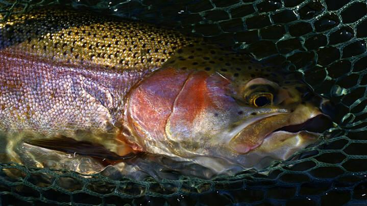 Antibiotika-forbrug til danske fisk er fordoblet på ét år
