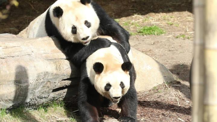 Hormonkurverne er perfekte: Københavns pandaer har 36 timer til parring