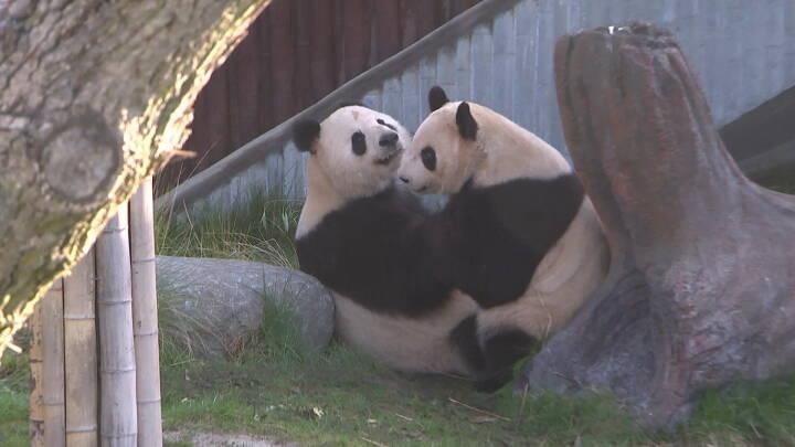 Tiden er knap for pandaparring i København Zoo: 'Vi håber virkelig, at de finder ud af det'