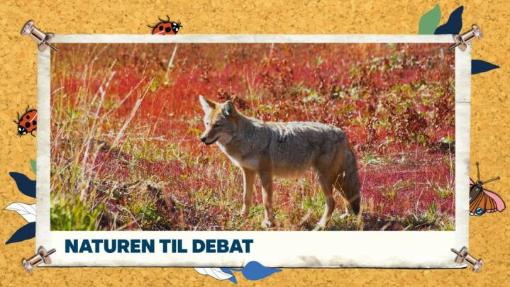 Ulven til debat