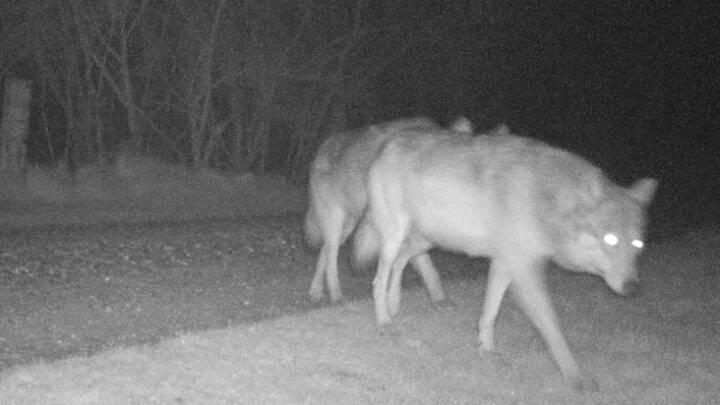 Hvor er ulveungerne? Vestjyske ulve er som sunket i jorden