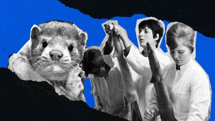Tidslinje: Sådan gik Danmark fra mink-eventyr til corona-mareridt på under 100 år
