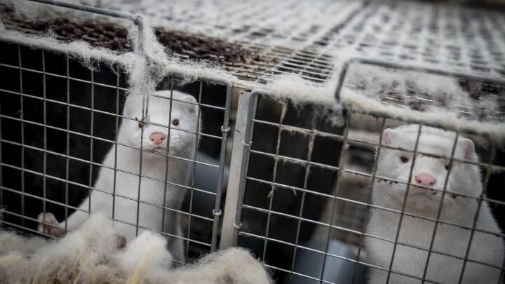 Minkbranchens død er godt nyt for naturen: Jyske heder slipper for kvælstof