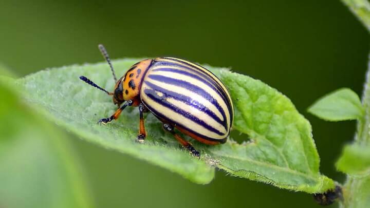 Danske forskere har udviklet et insektmiddel, som får skadedyr til at tisse sig selv ihjel