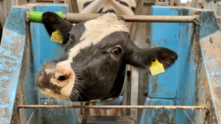 Ko nummer 8489 er bøfelskeres og mælkedrikkeres store håb