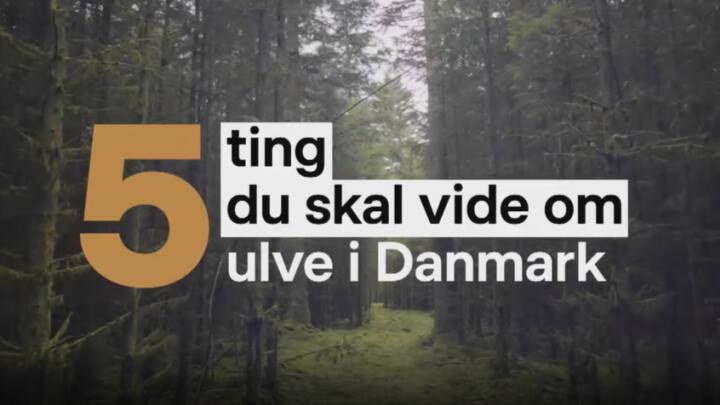 5 ting du skal vide om ulve i Danmark