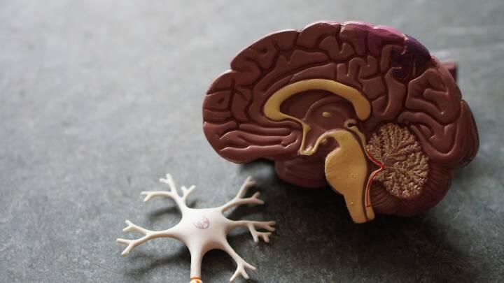 Antallet af hjerneceller afgør ikke din intelligens: Danske forskere sår tvivl om IQ-teori