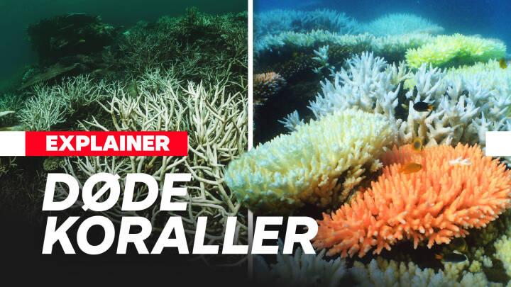 Great Barrier Reef i fare: Klimaforandringerne udrydder korallerne