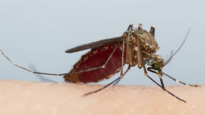 Det kradser og kløer:Derfor sværmer myggene om dig og ikke dine venner