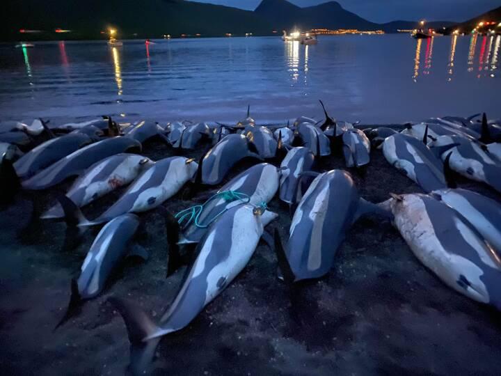 Drab på 1.428 delfiner fører til undersøgelse af fangstens fremtid på Færøerne