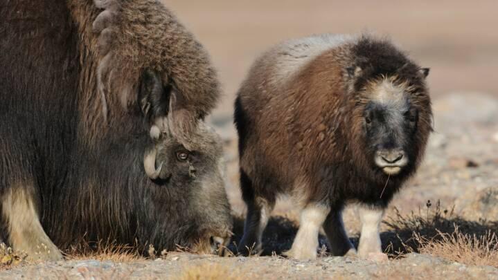 Klimaforandringer truer dyrene i Arktis