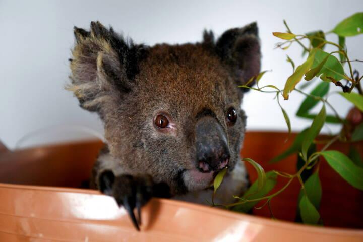 Australien har mistet 30 procent af landets koalaer på tre år