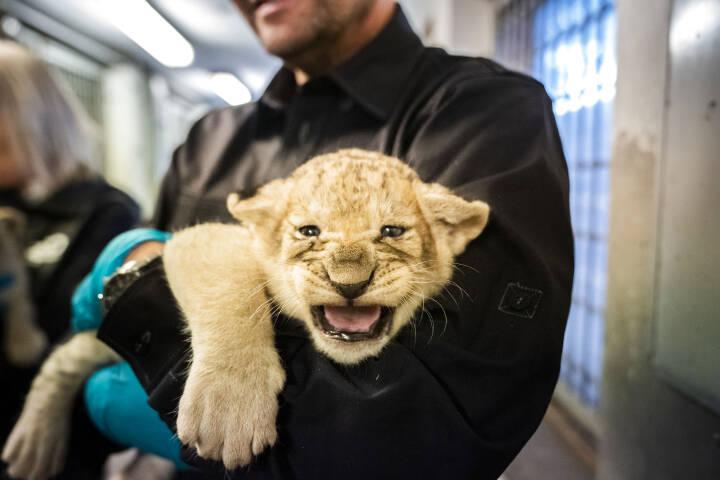 Zoologisk have i København undersøger fire løveunger - der var to hunner og to hanner