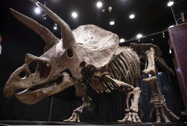 Amerikansk samler giver 50 millioner for otte meter langt skelet af dinosaur