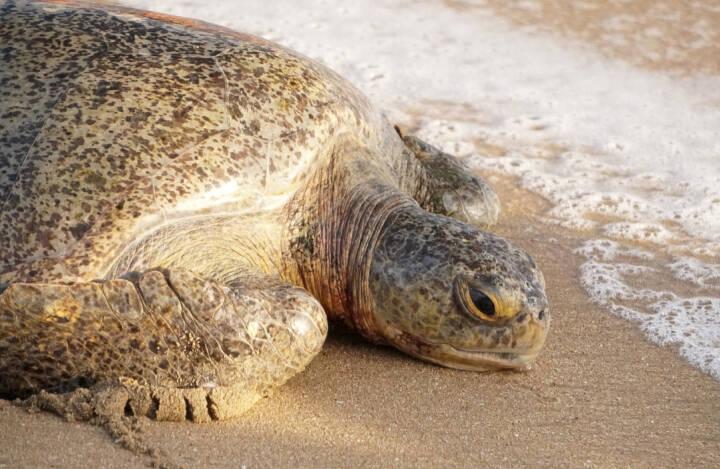 Hundredvis af døde skildpadder er skyllet op på land i Mexico
