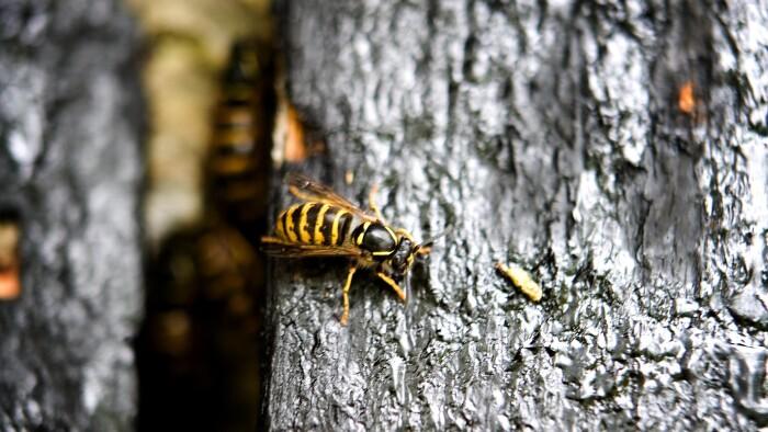 7c172ae4 Risiko for stikkende sommer: Mild vinter har været guf for hvepsene ...