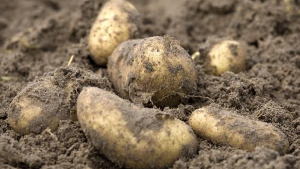 årets Første Samsø Kartofler Er Solgt 1500 Kr Per Kilo Indland Dr